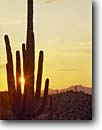 Stock photo. Caption: Saguaro at sunset Catalina State Park Oro Valley Sonoran Desert,  Arizona -- west deserts cactus southwest tall dramatic strength tenacity towering reach reaching united states america balance durable arid dry solitude cactuses saguaro saguaros sunsets parks Carnegiea gigantea Cereus giganteus