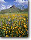 Stock photo. Caption: Mexican gold poppies, Coulter
