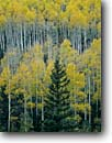 Stock photo. Caption: Engelmann spruce and aspen North Rim Grand Canyon National Park Colorado Plateau,  Arizona -- united states america forest forests parks aspen tree trees mixed artistic nature pattern patterns background backgrounds yellow world heritage site sites spruces Picea engelmannii Populus tremuloides Quaking Aspen or Trembling
