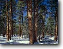 Stock photo. Caption: Ponderosa pines in winter Kaibab Plateau Kaibab National Forest Colorado Plateau,   Arizona -- Keywords: united states america landscape landscapes sunny clear scenic scenics  scene canyons country parks tree trees mountains plateaus pine snow snowy wintery cold forests afternoon large virgin growth