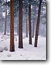 Stock photo. Caption: Ponderosa pines South Rim Grand Canyon National Park Colorado Plateau,  Arizona -- trees tree forest winter snowfall forests pine wintery united states america cold conifer conifers evergreen evergreens Pinus snowing snow