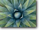 Stock photo. Caption: Utah agave South Rim Grand Canyon National Park Colorado Plateau,  Arizona -- united states america southwest southwesten desert deserts world heritage site sites closeup closeups prickly spines sharp thorns artistic nature design designs cactus cacti parks detail details agaves thorny star stars shaped succulent succulents