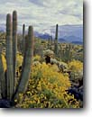 Stock photo. Caption: Saguaros, organ pipe and brittlebush Ajo Range Organ Pipe Cactus National Monument Sonoran Desert,  Arizona -- monuments cactuses deserts spring southwest southwestern united states america prickly landscape landscapes isolation expanse arid dry strength tourist destination destinations isolation saguaros Encelia farinosa Stenocereus thurberi Carnegiea gigantea