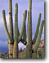 Stock photo. Caption: Saguaro Ajo Mountains, Ajo Mountain Drive Organ Pipe Cactus National Monument Sonoran Desert, Arizona -- saguaros monuments cactuses deserts spring southwest southwestern united states america prickly isolation expanse arid dry strength tourist travel destination destinations towering arms reach reaching Carnegiea gigantea