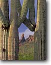 Stock photo. Caption: Saguaros  in the Ajo Range Ajo Mountain Drive Organ Pipe National Monument Sonoran Desert,  Arizona -- saguaros monuments cactuses deserts spring southwest southwestern united states america prickly isolation expanse arid dry strength tourist travel destination destinations towering arms reach reaching Carnegiea gigantea