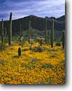 Stock photo. Caption: Mexican goldpoppy and saguaro Valley of the Ajo,  Diablo Mountains Organ Pipe Cactus National Monument Sonoran Desert, Arizona -- deserts parks park monuments carpets carpet luxurious southwest warm gold poppies poppy saguaros valley mountain wildflowers morning spring clouds eschscholzia californica mexicana cloudless blue skies united states america bloom blooming Carnegiea gigant