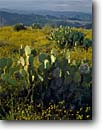 Stock photo. Caption: Autumn sunflowers and prickly pear Bradshaw Mountains   from Black Mesa Sonoran Desert, Arizona -- canyon country deserts spring tranquil peaceful southwest southwestern united states america desert landscape landscapes sunflower pricklypears flower flowers wildflower wildflowers