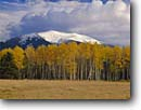 Stock photo. Caption: Aspens and San Francisco Peaks   from near Kendrick Park Colorado Plateau, Arizona -- tree trees fall autumn color forests united states america landscape landscapes colors soutwest southwestern aspen snow capped snowcapped peaks mountains distance  clearing Populus tremuloides Quaking Trembling  American meadows prairie prairies