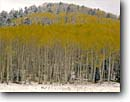 Stock photo. Caption: Aspens   near Hart Prairie San Francisco Peaks Colorado Plateau, Arizona -- country countryside autumn fall trees tree colors color united states america backroads snow snowy snowfall sunburst crisp landscape landscapes southwest southwestern winter cold Populus tremuloides Quaking Trembling American Aspen