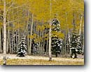Stock photo. Caption: Aspens and white firs   near Hart Prairie San Francisco Peaks Colorado Plateau, Arizona -- country countryside autumn fall trees tree colors color backroads snow snowy snowfall crisp landscape landscapes southwest southwestern winter cold populus tremuloides quaking trembling american aspen scenic scenics peaceful lonely season changing yellow