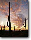 Stock photo. Caption: Saguaro cactus at sunset Tucson Mountain Unit Saguaro National Park Sonoran Desert,  Arizona -- sunsets parks united states southwest southwestern country clouds landscape landscapes tourist travel destination destinations saguaros cactuses deserts silhouette silhouettes Carnegiea gigantea Cereus giganteus time wild lonely secluded interlude