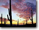 Stock photo. Caption: Saguaro cactus at sunset Tucson Mountain Unit Saguaro National Park Sonoran Desert, Arizona --   sunsets parks united states southwest southwestern country clouds united states america  landscape landscapes tourist travel destination destinations saguaros cactuses deserts silhouette silhouettes Carnegiea gigantea Cereus giganteus