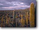 Stock photo. Caption: Saguaros near Signal Hill Tucson Mountain Unit Saguaro National Park Sonoran Desert, Arizona -- united states america landscape landscapes scenic scenics scene canyons country parks distance view views vista vistas mountains plateaus saguaro cactus large cloudy clouds spring deserts