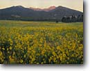 Stock photo. Caption: San Francisco Peaks at sunrise   and sunflowers in Bonito Park Coconino National Forest Colorado Plateau,  Arizona -- flowers flower wildflower wildflowers summer mountains united states america scenic scenics landscapes landscape sunflower forests craters dramatic spiritual yellow inspirational peak meadow meadows field fields