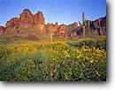 Stock photo. Caption: Brittlebush and saguaro Siphon Draw, Superstition Mountains Tonto National Forest Sonoran Desert,  Arizona -- encelia farinosa Carnegiea gigantea Cereus giganteus saguaros wildflower wildflowers flower flowers cactuses forests deserts mountain mountains landscape landscapes spring united states america southwest southwestern hope scenic scenics