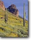 Stock photo. Caption: Brittlebush and saguaro in Siphon Draw Superstition Mountains Tonto National Forest Sonoran Desert, Arizona -- encelia farinosa Carnegiea gigantea Cereus giganteus saguaros wildflower wildflowers flower flowers cactuses forests sonoran deserts mountain mountains landscape landscapes spring united states america southwest southwestern desolation isolation sunny