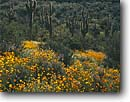 Stock photo. Caption: Mexican goldpoppy, Colter