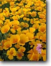 Stock photo. Caption: Mexican gold poppies and blue dicks Harquahala Valley Sonoran Desert,  Arizona -- united states southwest southwestern Dichelostemma pulchellum saddle mountain Eschscholzia californica  mexicana wildflower detail poppy wildflowers flowers deserts america details closeup closeups golden floral