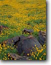 Stock photo. Caption: Mexican goldpoppy Saddle Mountain Harquahala Valley Sonoran Desert,  Arizona -- eschscholzia californica mexicana wildflower wildflowers flower flowers deserts mountains spring united states america southwest southwestern gold field fields poppies poppy detail details carpet