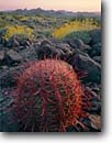 Stock photo. Caption: Compass barrel cactus and brittlebush Kofa Mountains Kofa National Wildlife Refuge Sonoran Desert, Arizona -- united states america landscape landscapes clear scenic scenics scene canyons country parks distance view views vista vistas mountain plateaus  kofas deserts wildflower wildflowers blooming refuges large Encelia farinosa spring