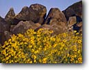 Stock photo. Caption: Brittlebush and petroglyphs Painted Rocks State Park Sonoran Desert Arizona -- landscape landscapes scenic scenics scene canyons country parks native american anasazi archeology archeological site sites deserts  Encelia farinosa petroglyph ancient pictographs glyph rock communication mysterious indian culture civilizations spring