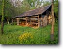 Stock photo. Caption: Mustard flowers   and Villines Cabin Buffalo National River Arkansas -- cabins rivers flower barn barns spring trees color colors cloudy united states america ozarks ozark south southern farmstead farmsteads homestead homesteads buildings buildings recreation area areas deep abandoned historical history culture past
