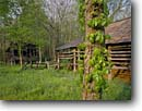 Stock photo. Caption: Virginia creeper Villines Cabin and Barn Buffalo National River Arkansas -- cabins rivers flower barn barns spring trees united states america americana historical historic homestead homesteading ozarks ozark south southern farmstead farmsteads homestead homesteads buildings buildings recreation area areas abandoned culture past