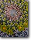 Stock photo. Caption: California barrel cactus Mountain Palm Springs Anza-Borrego Desert State Park Sonoran Desert,  California -- flowers wildflowers wildflower  deserts closeup closeups detail details southwest southwestern united states america ferocactus cylindraceus background backgrounds spine spines pattern patterns flower prickly sharp design designs artistic nature