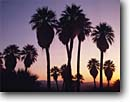 Stock photo. Caption: California fan palms Southwest Palm Grove Anza-Borrego Desert State Park Sonoran Desert,  California -- deserts parks Southern colorado west palm tree trees oasis groves spring washingtonia filifera united states america arid native silhouette design designs pattern patterns backgrounds background landscape landscapes 