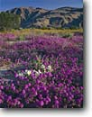 Stock photo. Caption: Desert sand verbena  and dune evening primrose Anza-Borrego Desert State Park Sonoran Desert,  California -- Borrego Valley Coyote Mountain wildflower wildflowers flowers parks  state united states america abronia villosa oenothera deltoides soft floral pastel morning shifting luxurious hope elegance ethereal sweet landscape landscapes sunny blue clear