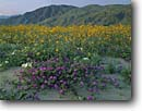 Stock photo. Caption: Desert sand verbena  and desert sunflower Borrego Valley and Coyote Mountain in   Anza-Borrego Desert State Park Sonoran Desert,  California -- dune dunes deserts wildflower wildflowers flowers parks united states america abronia villosa geraea canescens purity fresh lush abundance abundant sweet pristine landscape landscapes transitory balance harmony excellence sunny clear sunflowers
