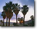 Stock photo. Caption: California fan palms at sunrise Southwest Grove, Mountain Palm Springs Anza-Borrego Desert State Park San Diego County, California -- deserts parks united states america  washingtonia filifera sunrises groves native palm tree