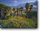 Stock photo. Caption: Brittlebush, California fan palms Mountain Palm Springs Anza-Borrego Desert State Park Sonoran Desert, California -- deserts parks Southern colorado west palm tree trees oasis grove groves spring march morning wildflowers flowers encelia farinosa washingtonia filifera flower wildflower yellow united states america arid landscape landscpes sunny clear blue skies