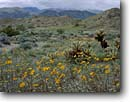 Stock photo. Caption: Desert sunflowers and teddy bear  cholla in June Wash Tierra Blanca and  Laguna Mountains Anza-Borrego Desert State Park Sonoran Desert, California -- San Diego County united states america parks vista overlook deserts isolated isolation transitory dramatic solitude weathered storm clouds energy stark hard harsh environment Desertgold Geraea canescens Opuntia bigelovii chollas cloudy clouds bloom scenic