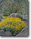 Stock photo. Caption: Brittlebush and ocotillo Borrego Palm Canyon Anza-Borrego Desert State Park Sonoran Desert,  California -- fouquieria splendens Encelia farinosa deserts wildflower wildflowers flowers parks parks united states america landscape landscapes deserts spring san diego county arid scenic