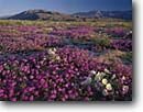 Stock photo. Caption: Dune evening primrose and desert sand verbena Borrego Valley and Coyote Mountain    in Anza-Borrego Desert State Park Sonoran Desert,  California -- San Diego County parks abronia villosa oenothera deltoides deserts valley wildflowers flowers mountains wildflower flower pink white spring morning first light soft calm united states america arid balance luxurious bloom blooming carpet purple