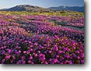 Stock photo. Caption: Desert sand verbena  and dune evening primrose Borrego Valley and Coyote Mountain   in Anza-Borrego Desert State Park Colorado Desert,  California -- parks abronia villosa oenothera deltoides sonoran deserts valley wildflowers flowers mountains wildflower flower pink white spring morning first light soft calm united states america arid purple landscape landscapes sunny clear blue skies scenic sand