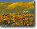 Stock photo. Caption: California poppies  and California coreopsis Portal Ridge, Antelope Valley Mojave Desert Los Angeles County, California -- united states mohave deserts desert Eschscholzia californica californica foothills wildflowers flowers rolling hills wildflower artistic nature america landscape landscapes gold poppy blue skies clear sunny bloom blooming southern scenic scenes spring