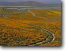 Stock photo. Caption: California poppies Portal Ridge Antelope Valley Los Angeles County,  California -- united states mohave deserts mojave desert Eschscholzia californica  foothills wildflowers flowers rolling hills wildflower america landscape landscapes gold poppy flower spring sunny clear road roads winding through scenic scenics ranch primitive tracks