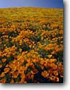 Stock photo. Caption: California poppies Portal Ridge Antelope Valley Los Angeles County,  California -- united states  mohave deserts mojave desert Eschscholzia californica foothills wildflowers flowers rolling hills wildflower artistic nature america background backgrounds orange golden floral clear sunny blue skies scenic scenes scenics scene spring
