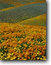 Stock photo. Caption: California poppy & California coreopsis Portal Ridge Antelope Valley Los Angeles County,  California -- united states mohave deserts mojave desert Eschscholzia californica foothills wildflowers flowers rolling hills wildflower america landscape landscapes undulating golden scenic scenes scenics scene spring converging lines foothill blooming blooms