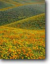 Stock photo. Caption: California poppies  and California coreopsis Portal Ridge, Antelope Valley Los Angeles County,  California -- united states mohave deserts mojave desert Eschscholzia californica foothills wildflowers flowers rolling hills wildflower america landscape landscapes undulating golden scenic scenes scenics scene spring converging lines foothill blooming blooms