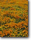 Stock photo. Caption: California poppies  and California coreopsis Portal Ridge, Antelope Valley Los Angeles County,  California -- united states mohave deserts desert Eschscholzia american californica foothills wildflowers flowers wildflower artistic nature america  golden gold poppy bloom carpet luxurious background backgrounds form pattern golden spring designs design floral scenes