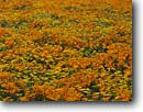 Stock photo. Caption: California poppies  and California coreopsis Portal Ridge,  Antelope Valley Mojave Desert, California -- united states mohave deserts desert Eschscholzia american californica foothills wildflowers flowers rolling wildflower artistic nature america landscape landscapes  golden gold poppy bloom carpet luxurious background backgrounds spring design designs