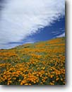 Stock photo. Caption: California poppies Sierra Pelona   near Soledad Pass Los Angeles County,  California -- californica eschscholzia country clouds flower flowers wildflowers wildflower poppy rural fields hill foothills hills dramatic united states america landscape landscapes gold poppy golden state sweet floral landscape landscapes sunny spring blooming bloom