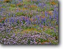 Stock photo. Caption: California poppies lupine and phacelia Old Post Road Tehachapi Mountains near Gorman Los Angeles County,   California -- united states america flower flowers wildflower wildflowers bloom blooms spring poppy fields lupines colorful purple spring field abundant abundance