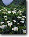 Stock photo. Caption: Calla lily in Abalone Cove Garrapata State Park Big Sur Coast Monterey County, California -- beach beaches flowers flower seascape seascapes united states america pacific ocean west coast lilies wildflowers wildflower abundance pure purity coastal scenic scenics  purity bloom blooming blooms flowering Zantedeschia aethiopica giant white arum