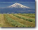 Stock photo. Caption: Hay field near Gazelle and Mount Shasta Cascade Range California -- united states america peak peaks snow capped summer siskiyou county mountain mountains volcano volcanos volcanoes inactive majestic hayfields hayfield agriculture cultivation production rural trust eternal diversity harmony abundance crop crops feed