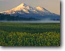 Stock photo. Caption: Seep spring arnica Grass Lake and Mount Shasta Cascade Range, California -- united states america longifolia marsh marshes peak peaks snow capped fog summer siskiyou county mountain mountains volcano volcanos volcanoes inactive flowers wildflowers wildflower sunflower sunrise majestic landscape landscapes arnicas morning mist
