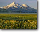 Stock photo. Caption: Seep spring arnica Grass Lake Mount Shasta Cascade Range,  California -- united states america longifolia marsh marshes peak peaks snow capped fog summer siskiyou county mountain mountains volcano volcanos volcanoes inactive flowers wildflowers wildflower sunflower sunrise majestic landscape landscapes arnicas morning